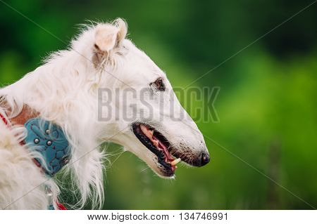 White Russian Wolfhound Dog, Borzoi, Hunting dog, Sighthound in Spring Summer Forest. These dogs specialize in pursuing prey, keeping it in sight, and overpowering it by their great speed and agility