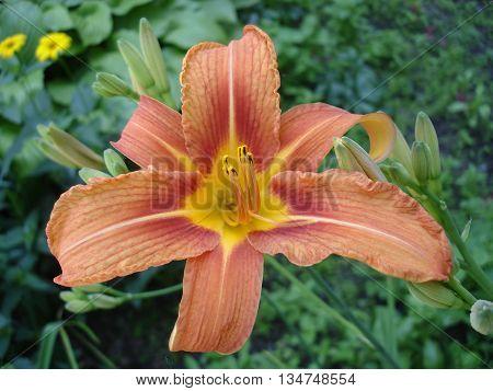 Orange lilium buds and flower orange day lily.