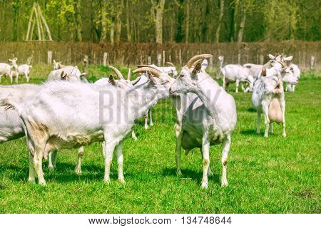 Happy goats herd in an open sunny field with green grass