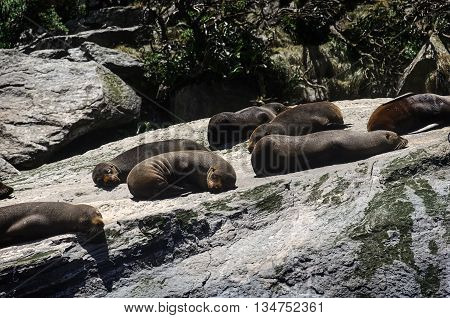 Colony of Brown fur seals basks on a large rock. Milford Sound, South Island, New Zealand