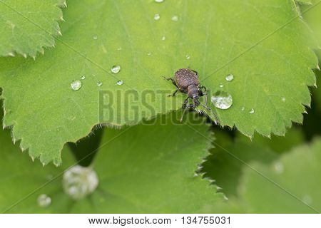 Closeup of small brown European beetle, Black Vine Weevil, on green Lady's mantle leaves