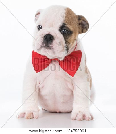 english bulldog puppy wearing red bowtie on white background