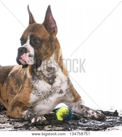 dirty muddy boxer with ball between legs isolated on white background