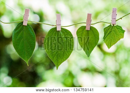 leaves hanged on liana with wood clips on green background