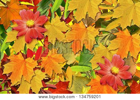 abstract background of autumn leaves . flowers dahlias