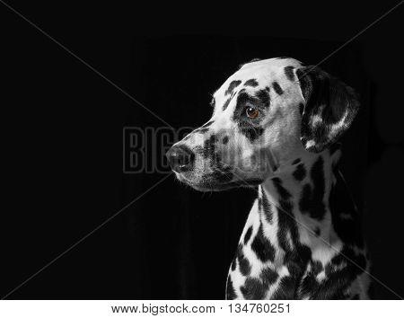 Portrait of a dalmatian dog on black background