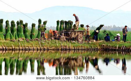 PHU YEN, VIET NAM, April 18, 2016 farmers Phu Yen province, central Vietnam, harvesting papyrus