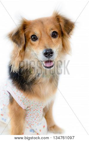 Beautiful dog with black brown wear clothing sitting on isolated white background