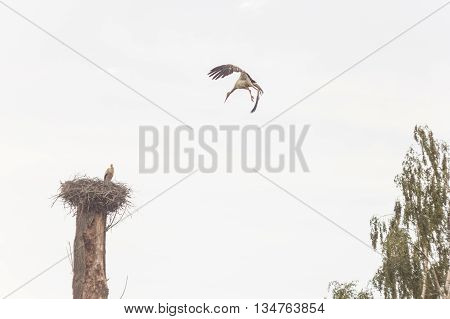 The stork flies to a nest in which the baby bird sits