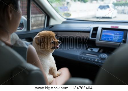 pomeranian puppy dog smiling happy sitting in car cute pets