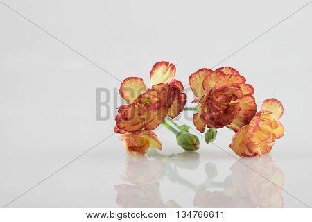 three beautiful fresh orange and yellow carnation flower