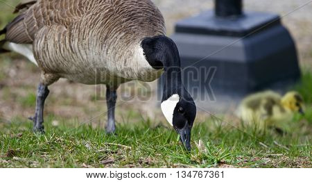Beautiful background with a Canada goose and a chick