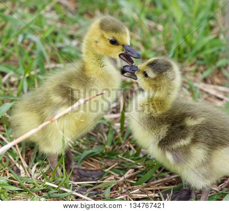 Funny beautiful isolated image with a pair of cute chicks of the Canada geese