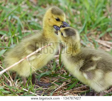 Funny beautiful image with two young cute chicks of the Canada geese in love