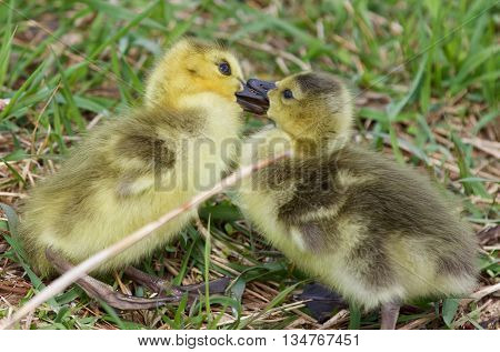 Funny picture with two kissing young chicks of the Canada geese