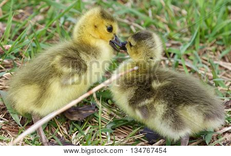 A kiss of the chicks of the Canada geese