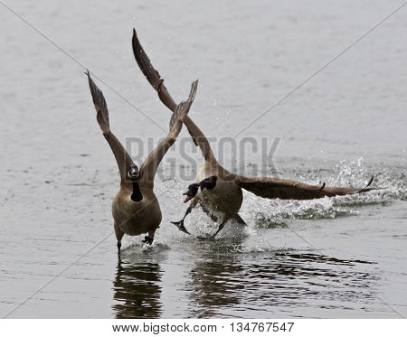 Expressive isolated image with the Canada goose chasing his rival on the lake