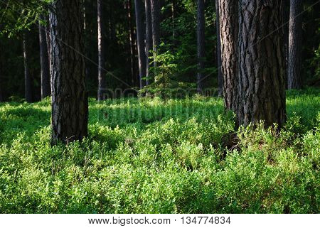 Beautiful pine tree forest with the ground covered of fresh green blueberry bushes