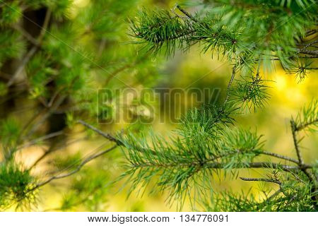 Pine Trees In The Morning