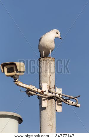 Seagull sitting on a pole with a camera