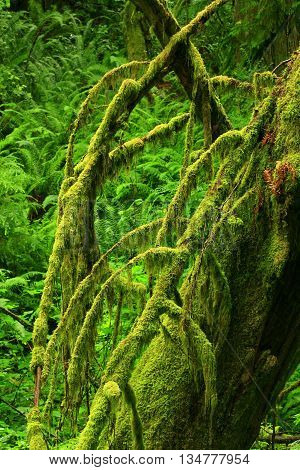 a picture of an exterior Pacific Northwest conifer tree with moss