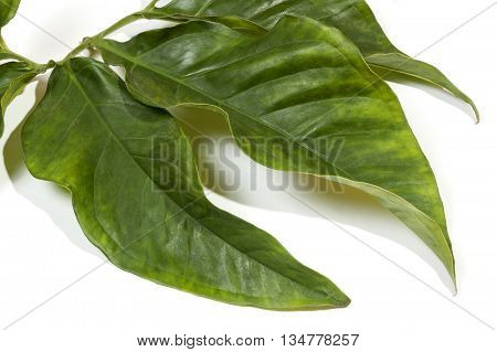 Large Decorative Leaves Attached To Green Stem