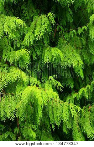 a picture of an exterior Pacific Northwest Western red cedar tree leaves in spring