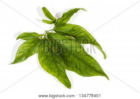 Large Decorative Leaves Displaying Many Hues Of Green
