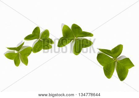 Four Natural  Bright Green Clovers On White