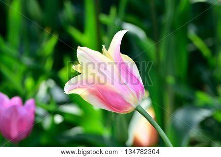Bud of motley tulip in a garden close up