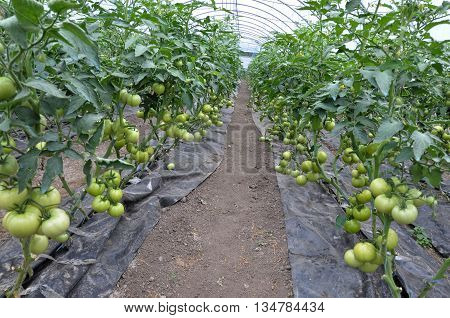 Growing tomatoes on trellis in a large greenhouse with watering dirt