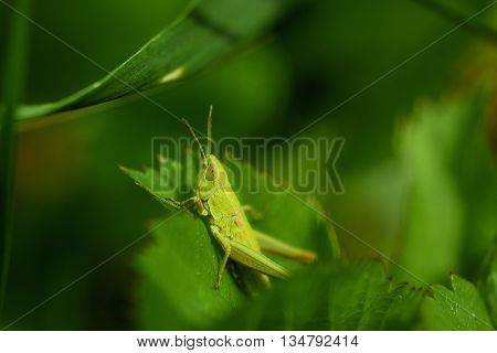 The green grasshopper sits on a grass. The little grasshopper. Selected focus. Grasshopper in a garden.
