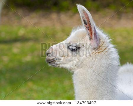 White llama (Lama glama) cria close portrait