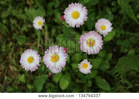 Daisy (Bеllis) - genus of perennial plants of the family Asteraceae.