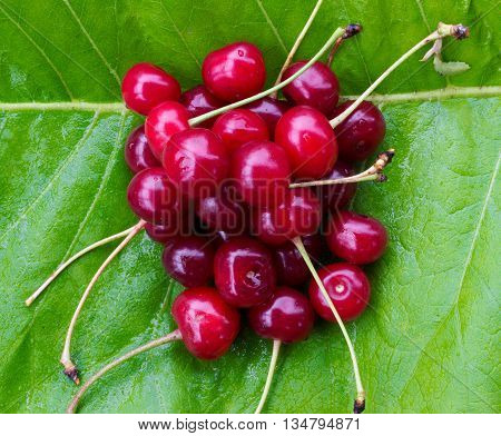 bunch of red ripe cherries with tails on the green burdock leaves. close-up top view