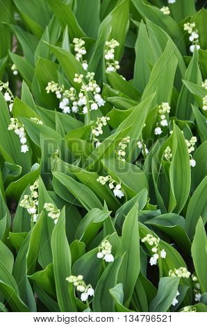 Lily Perennial plant of the lily family. Leaves vaginal elliptical or oval. Flower arrow ends sided tassel hanging on stalks which are inclined downwards white flowers resembling bells. The flowers are very fragrant. Fruit - juicy red berry with three see