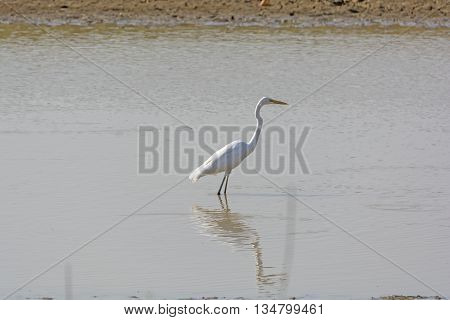 Great Egret in Remote Waterhole in Kanha National Park in India