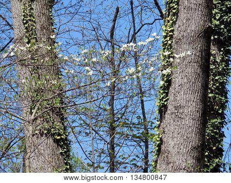 Dogwood flowers in forest of Mclean near Washington DC