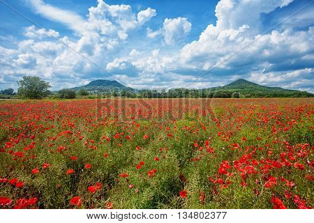 Poppy field with volcanic hills in the backgrounds in the Kali Basin Hungary