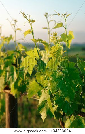 Sangiovese vines  in Tuscany, Italy, sunrise shot