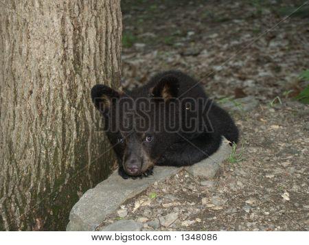 Tiny Black Bear Cub