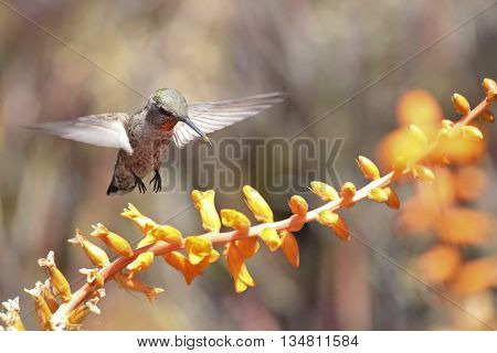 Hummingbird hovering over Dyckia fosteriana blossoms with pollen on the end of its bill. Hummingbirds love this plant because insects pollinating the flower can not escape the hummingbird's probing tongue.