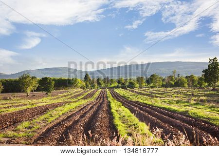 Landscape View Of Farmland, Plot Or Bed Of Cassava Or Manioc Or Tapioca Plant Or Genus Manihot In Pu