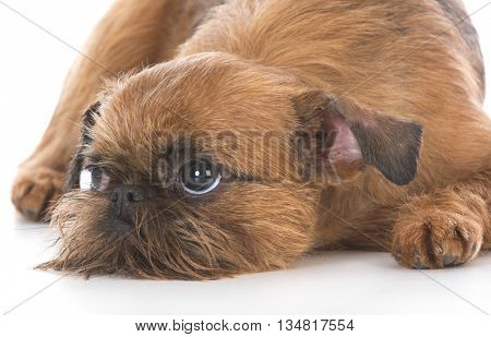 cute brussels griffon puppy laying down on white background
