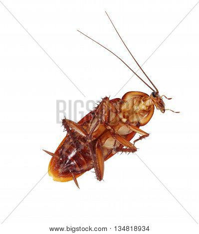 The Cockroach isolate on the white background