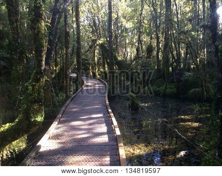 Boardwalk through Ancient  swamp forest on New Zealand West Coast 1