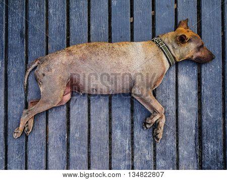 Old dog sleep on wood floor in hot weather
