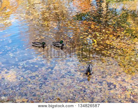 ducks in the water with fallen autumn leaves