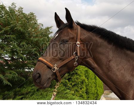 portrait of nice sport horse with halter