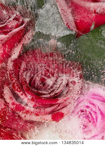 delicate fragile abstraction of a beautiful red and pink roses flowers frozen in the clear water and a lot of air bubbles